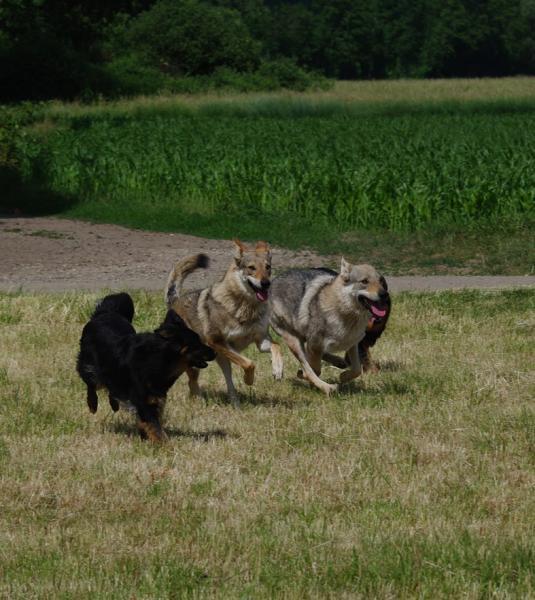 Aïleen, D'june et Dark nos chiens-loups tchécoslovaques.